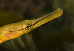 Pipefish taken in North Wales, UK.